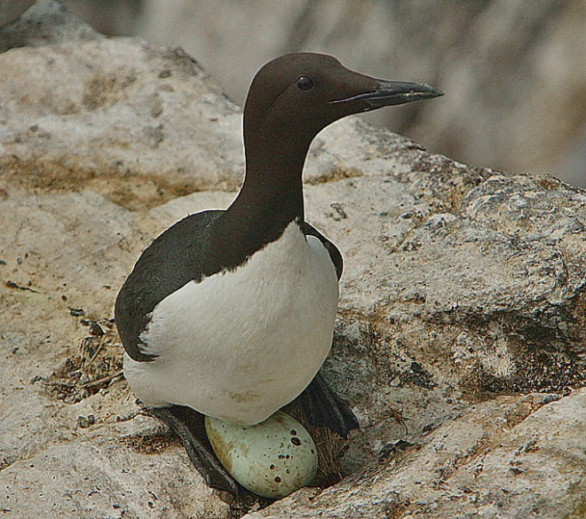A Common Murre incubates an egg. In Europe, the species is known as Common Guillemot. Photo by Steve Garvie (Creative Commons)