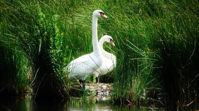 pair-of-swan1