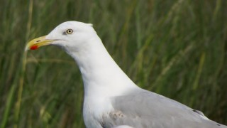 portrait-herring-gull