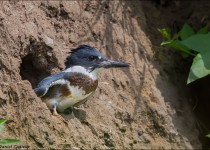 tn_Belted-Kingfisher_6964-1