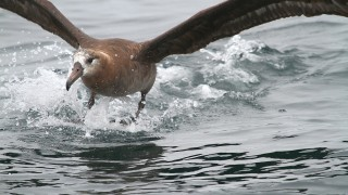 Albatross-Black-footed-2014-09-14-879