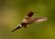 Annas-Hummingbird6