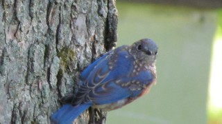 Bluebird-Junior-Jamesville