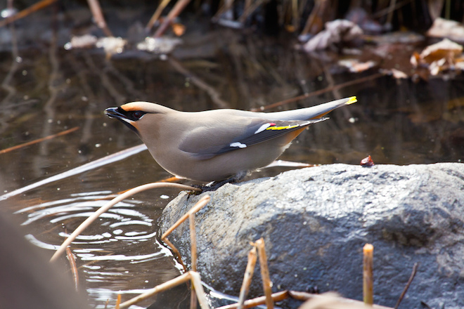 A Bohemian Waxwing drinks from a pond newly constructed by Laura Erickson's neighbor. Photo by Laura Erickson.
