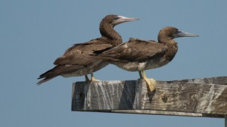 Brown-Boobys