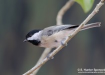 DSC0110-Carolina-Chickadee