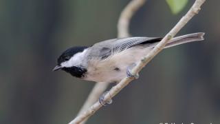 DSC0110-Carolina-Chickadee