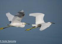DSC0114-Snowy-Egrets