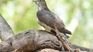 DSC_0651-Common-hawk-Cuckoo-Photographed-by-Bhasmang-Mehta-India