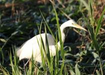 Egret-Crop1