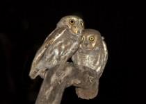 Elf-Owls