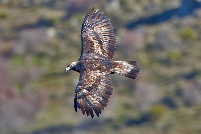 Golden Eagle. Photo by Juan Lacruz/Wikimedia Commons