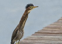 Green Heron - immature