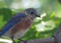 Junior-Bluebird-portrait