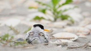 Least Terns ©2014 Melissa Groo