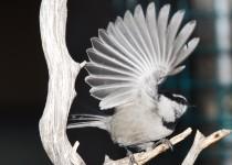 Mtn-chickadee-at-feeder-3