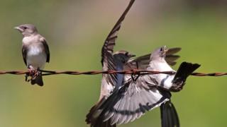 NRWS-fledgling-mounting_0815