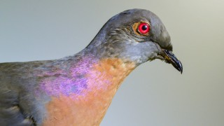 This specimen of a male pigeon is on display at the Harvard Museum of Natural History. Credit: Museum of Comparative Zoology