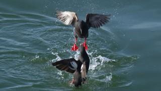 Pigeon-Guillemot2