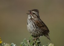 Song-Sparrow_edited-1