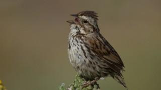 Song-Sparrow_edited-1