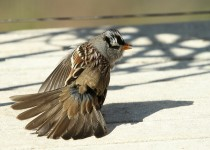 Sparrow-White-crowned-2014-09-22-008