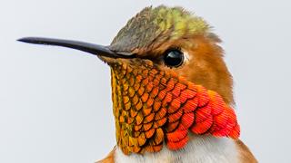 allen's-hummingbird-320
