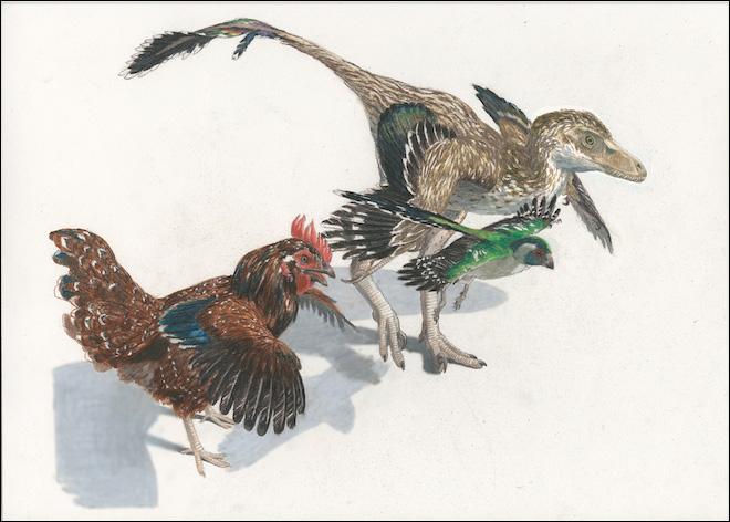 A Velociraptor, Cretaceous bird, and chicken. Illustration by Jason Brougham.