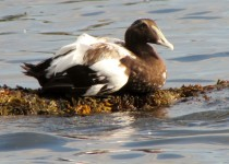 young-male-eider2