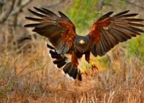 Harris Hawk Gotcha