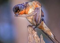 Barnswallow Extreme Grooming