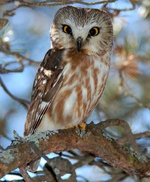 Northern Saw-whet Owl by newfoundlander61