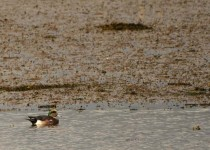 American-Wigeon-copy-2