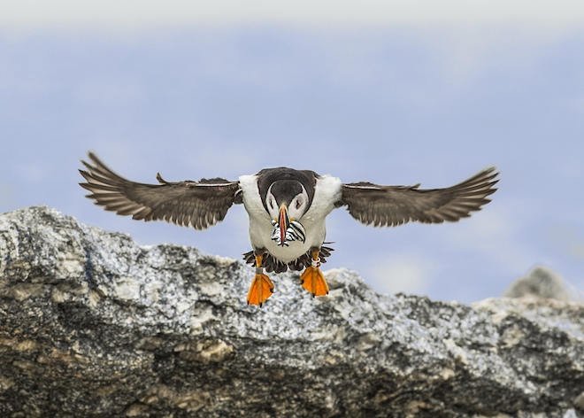 Atlantic Puffin-Flint-660