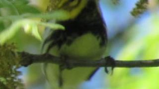 Black-throated-Green
