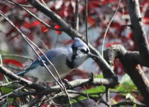 Blue-Jay-Oct.-5-2014-1
