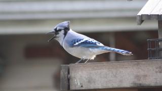 Blue-Jay-Oct.-5-2014-2