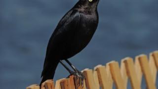 Brewers-Blackbird1