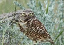 Burrowing-Owl-4