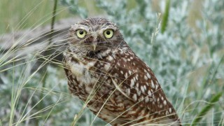 Burrowing-Owl-4