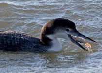 Common-Loon-Outer-Banks-N.C._0542