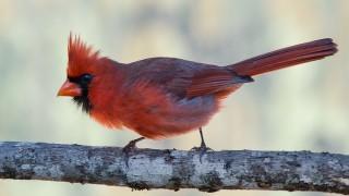 DSC0154-Northern-Cardinal