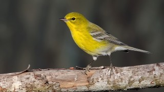 DSC0235-Pine-Warbler