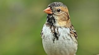 Harris's Sparrow_320x180