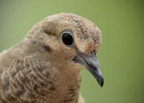 Mourning-Dove-Juvenile-DSC_1780