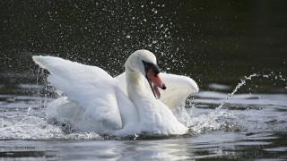 Mute-Swan-02