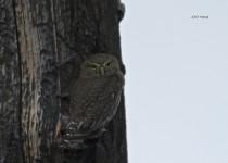 Northern-Pygmy-Owl-01