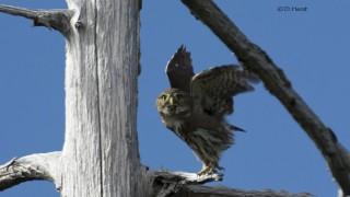 Northern-Pygmy-Owl-7