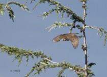 Northern-Pygmy-Owl-8