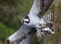 Osprey-with-Alewife-for-birdwatching-mag